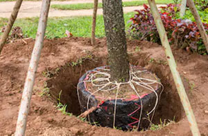 Tree Transplanting Chippenham (01249)